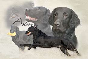 Collage Flat-Coated-Retriever Asim
