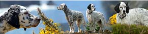 2 English Setter in Cornwall/England (18.06.2013)