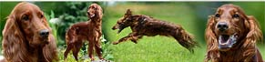 1 Irish Red Setter (2 Jahre) (26.06.2013)