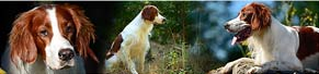 1 Irish Red and White Setter (2 Jahre) (01.08.2013)