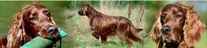 1 Irish Red Setter (10 Jahre) (20.08.2013)
