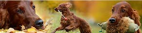 1 Irish Red Setter (3 Jahre) (22.10.2013)