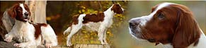 2 Irish Red and White Setter (zw. 3 und 12 Jahren) (26.10.2013)