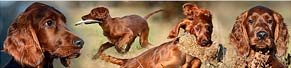 1 Irish Red Setter (16 Wochen) (27.12.2013)
