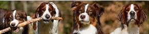 1 Australian Shepherd und 1 Irish Red and White Setter (29.03.2014)