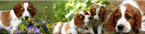 11 Irish Red and White Setter Welpen (7 Wochen) (16.06.2014)