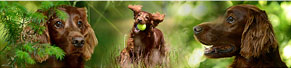 1 Irish Red Setter (7 Jahre) (20.06.2014)