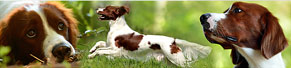 1 Irish Red and White Setter (14 Monate) (15.07.2014)