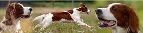 1 Irish Red and White Setter (5 Jahre) (05.09.2014)