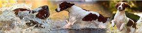 1 Irish Red and White Setter (1,5 Jahre) (17.09.2014)