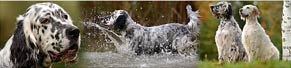 2 English Setter beim Wasser-Shooting (16.10.2014)