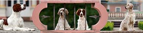 1 English Setter und 1 Irish Red and White Setter (1,5 und 2 Jahre) (20.06.2015)