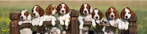Irish Red and White Setter Welpen (7 Wochen) (24.07.2015)
