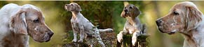 1 English Setter (11 Wochen) (03.10.2015)