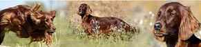 1 Irish Red Setter (7 Jahre) (04.10.2015)