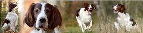 1 Irish Red and White Setter (6 Jahre) (01.12.2015)