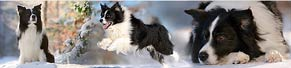 Border Collie (8 Jahre) (18.01.2016)
