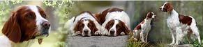 2 Irish Red and White Setter (3 und 7 Jahre)(16.04.2016)