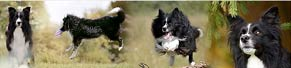 1 Border Collie (6 Jahre) (04.07.2016)