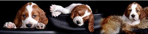 Irish Red and White Setter-Welpen (19.01.2017)