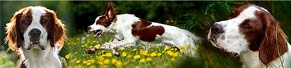 1 Irish Red and White Setter (8 Monate) (14.08.2017)