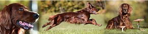 1 Irish Red Setter (3 Jahre) (17.10.2017)